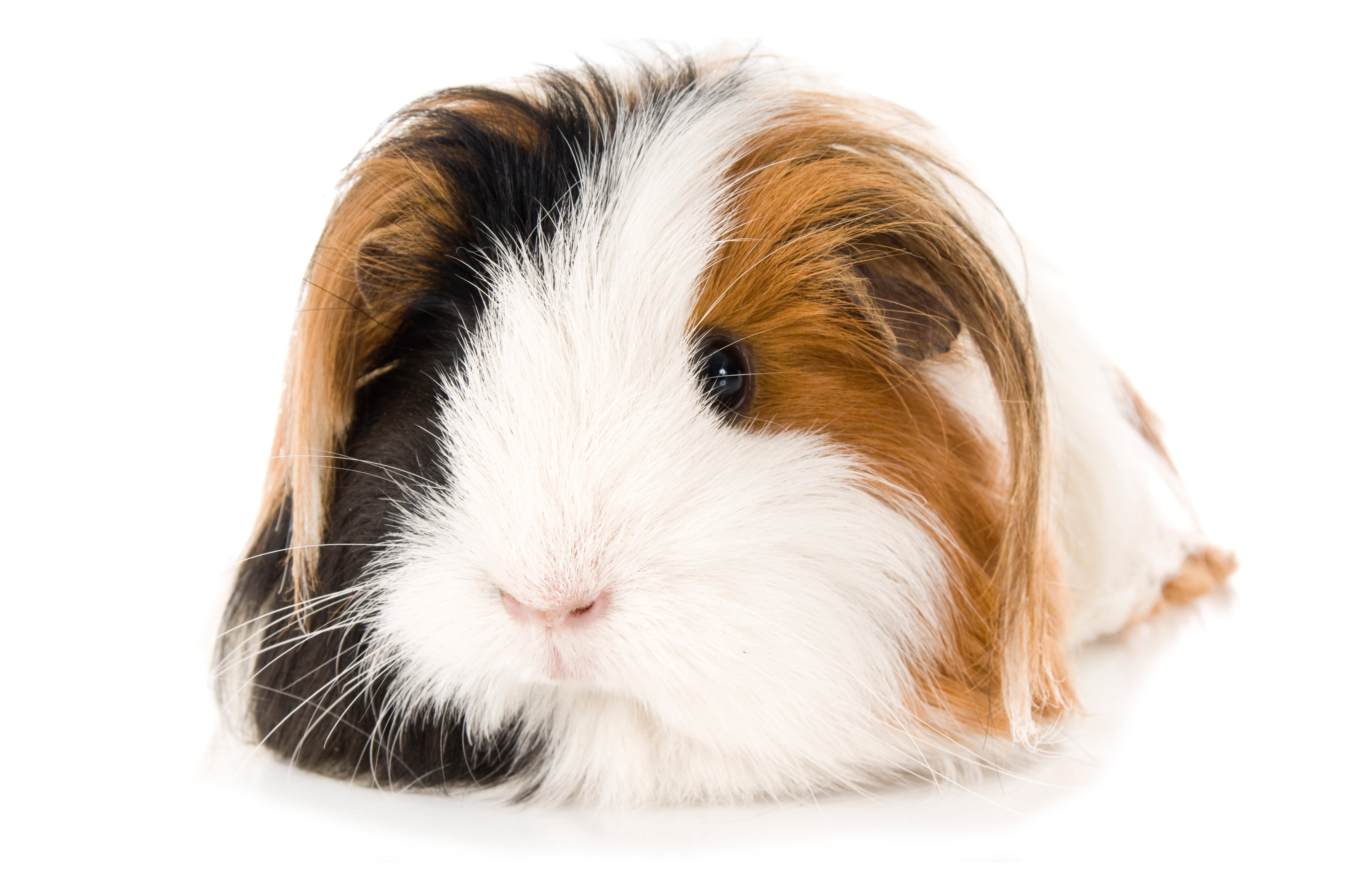 A cute guinea pig, just like some of the guests at our guinea pig boarding hotel!