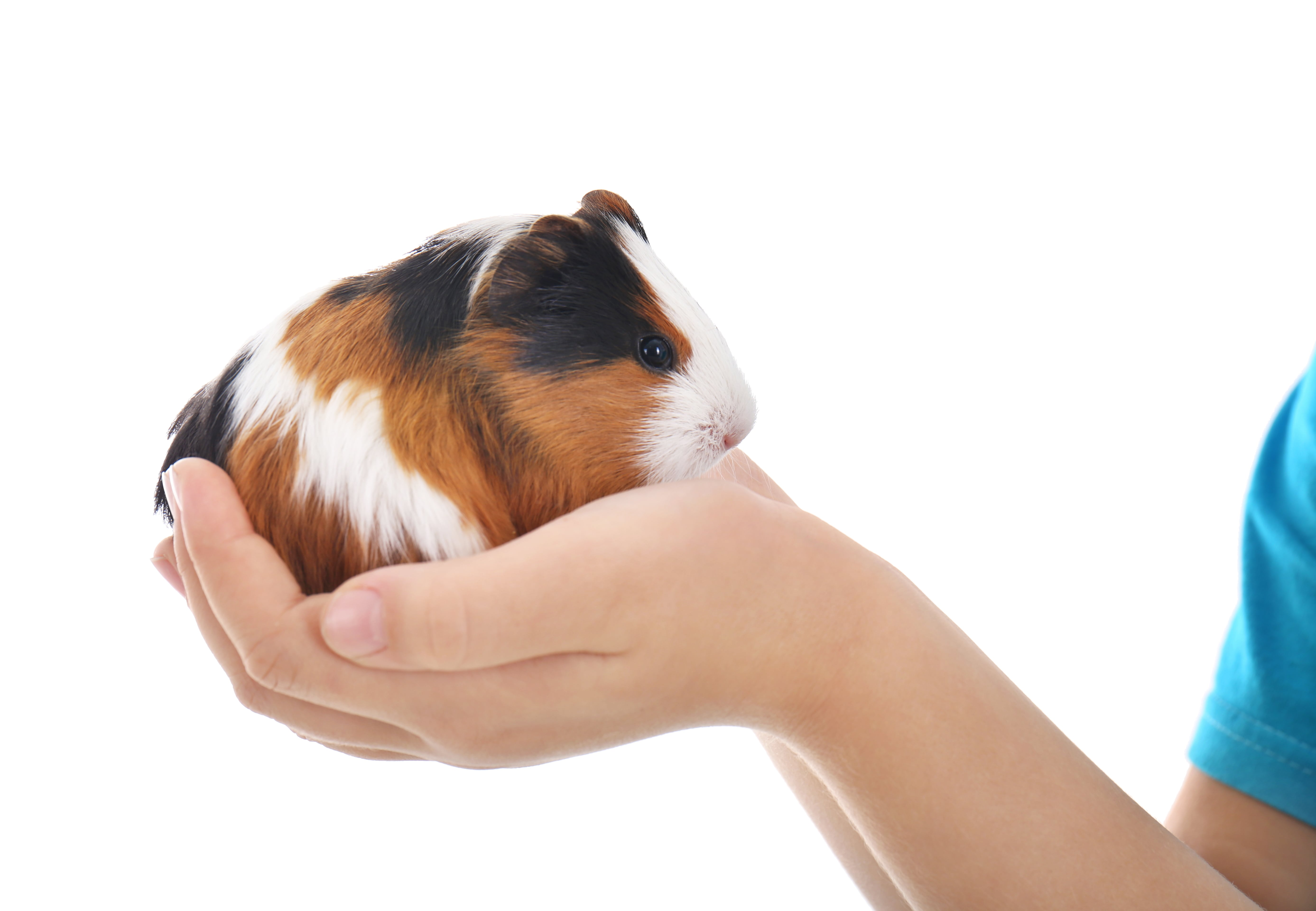 A cute guinea pig in a hand showing the daily pats and cuddles we give!
