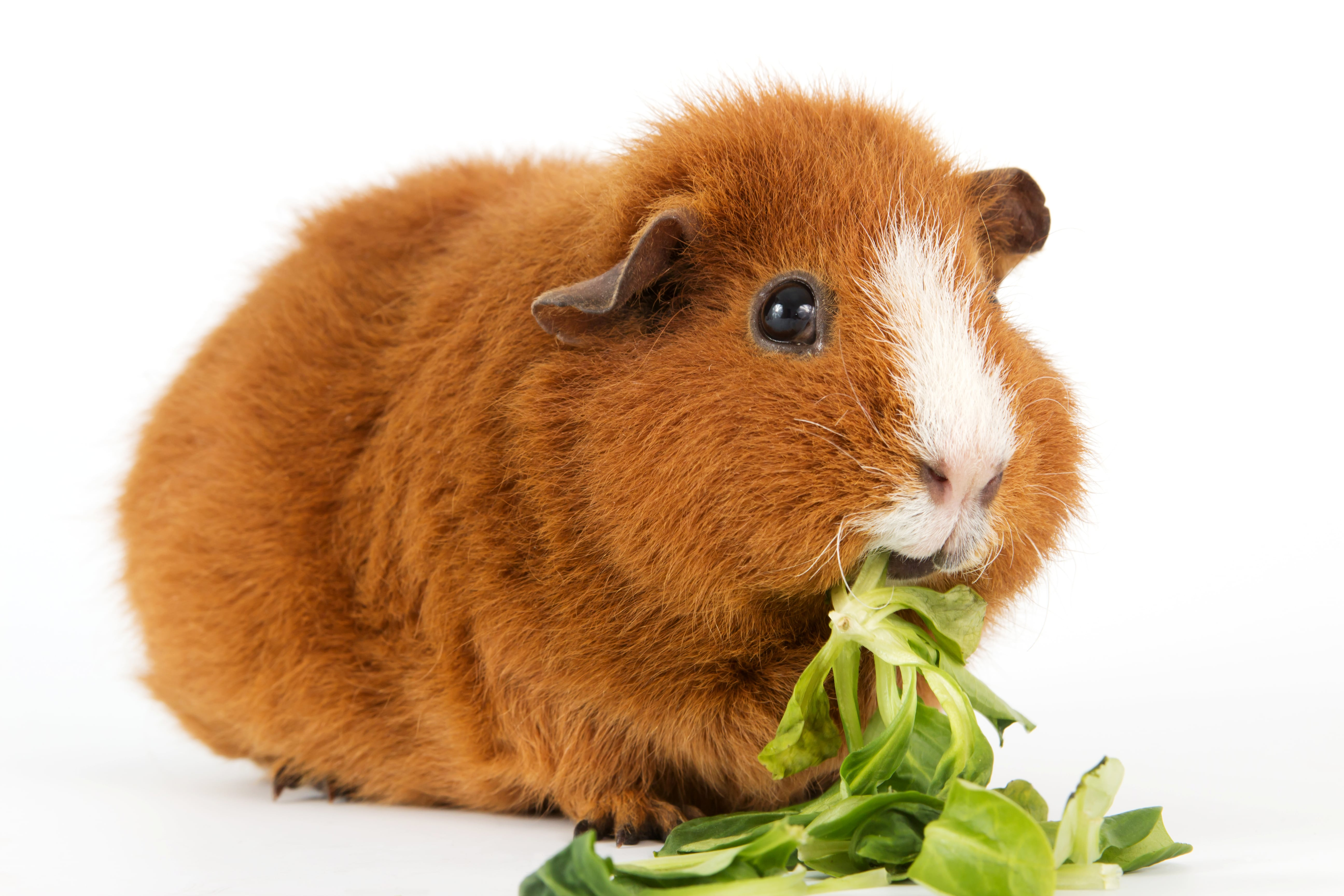 A furry little guinea pig munching some lettuce - just like at our place!
