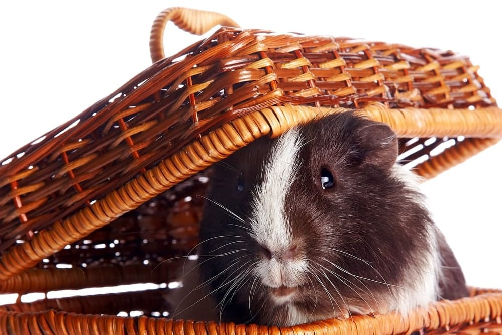 A cute guinea pig in a basket giving tips on what to pack for our  guinea pig boarding hotel