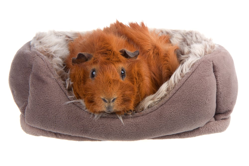 A snuggly guinea pig in a small pet bed